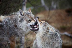 Entm.Wolves_in_Norway