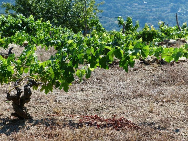 vines-186363_1280